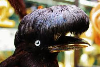 Pájaro paraguas / pássaro guarda-chuvas