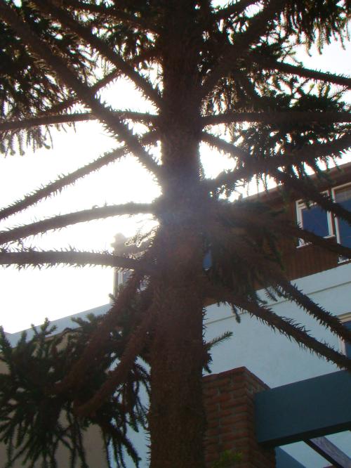 Logo à entrada, deparei-me com um pinheiro, parecido com a nossa araucária, da mesma família mas de outra espécie. É uma araucaria araucana, que nasce na Argentina e no Chile, na região andina. O nosso pinheiro é da espécie araucaria angustifolia.